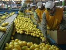 Trump suspendió la importación de limones argentinos por 60 días