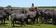 El rodeo nacional de bufalos cuenta con unas 85 mil cabezas, de las cuales 35 mil son vientres. El mapa productivo ubica a Formosa y Corrientes al fre