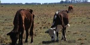 La ganadería sufre el estrés