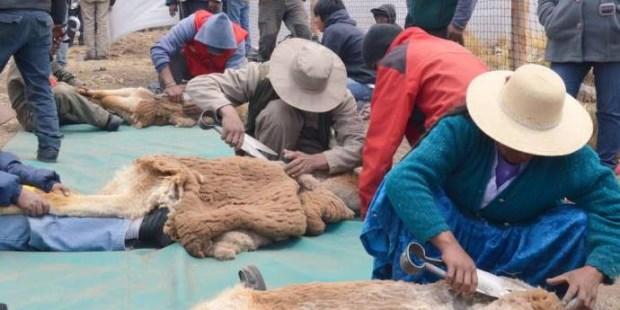 Resultado de imagen para Comunidades rurales  vicuñas